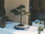 La giornata dei bonsai